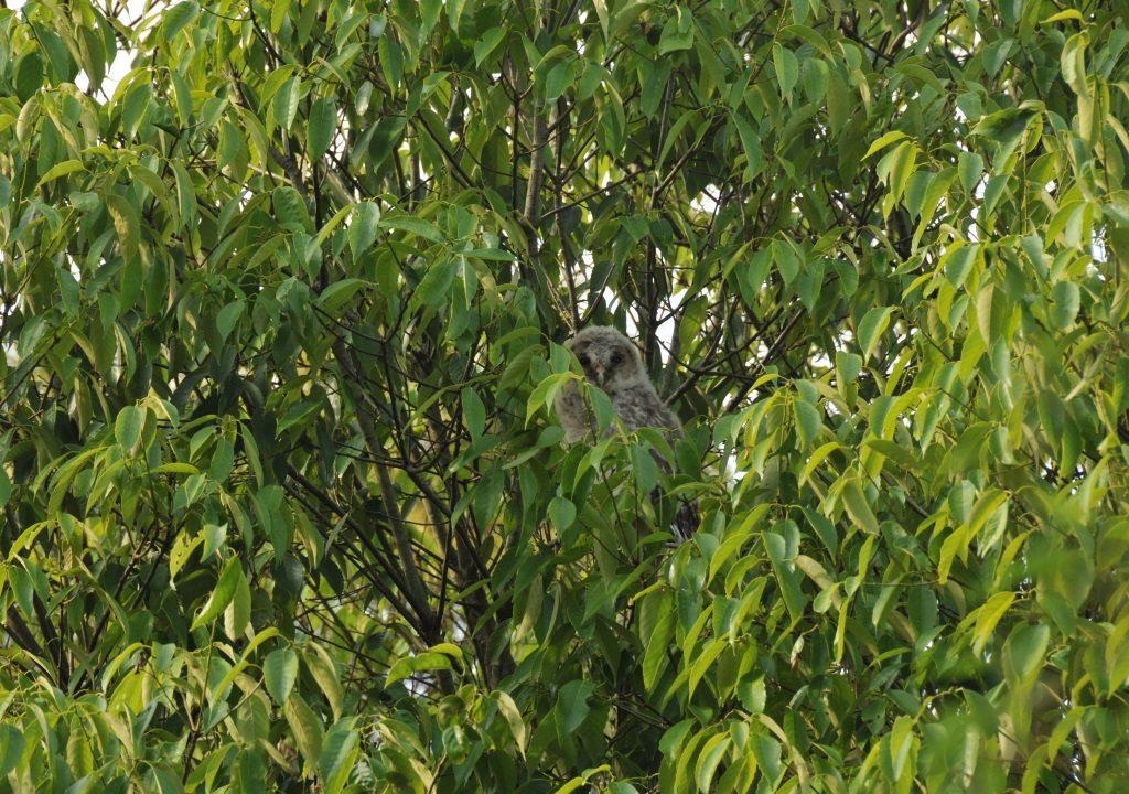 シイの木にはフクロウも遊びに来ます